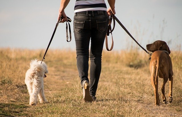 dogs on walk with owner
